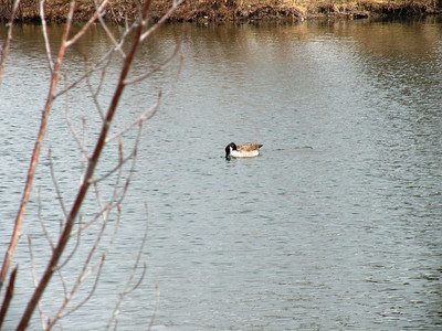 The ponds had lots of geese